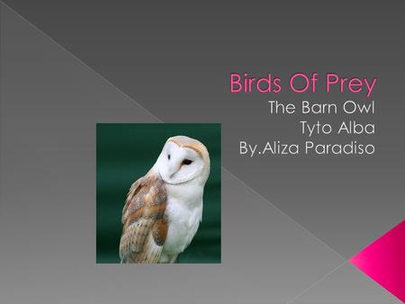 The Barn Owl eats small vertebrates….Also it eats rodents………It eats more than 1,000 rodents per year….It will snatch a young Chicken or a Guinea Pig once.