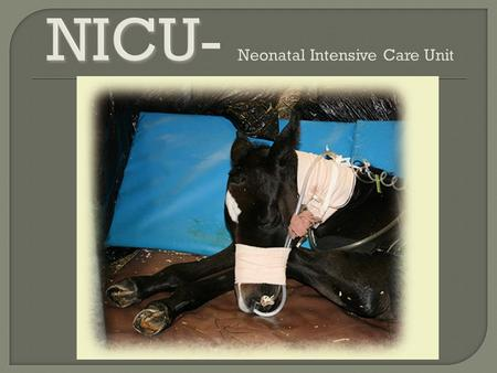  A volunteer program, that allows pre-vet students to work in the foal ICU at the vet school.  You may be allowed to perform treatments including: 