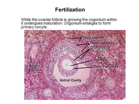 Fertilization While the ovarian follicle is growing the oogonium within it undergoes maturation. Oogonium enlarges to form primary oocyte.