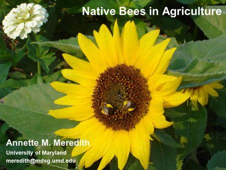 Native Bees in Agriculture Annette M. Meredith University of Maryland