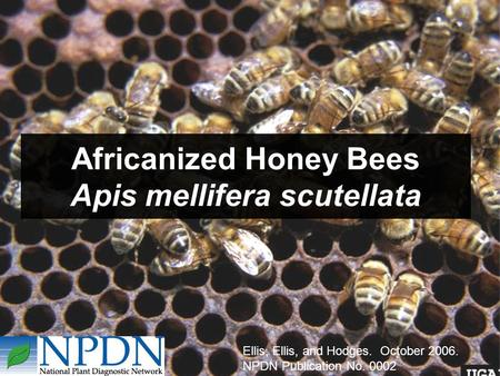 Africanized Honey Bees Apis mellifera scutellata Ellis, Ellis, and Hodges. October 2006. NPDN Publication No. 0002.