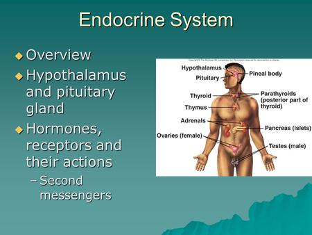 Endocrine System  Overview  Hypothalamus and pituitary gland  Hormones, receptors and their actions –Second messengers.