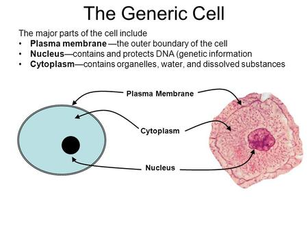 The Generic Cell The major parts of the cell include Plasma membrane —the outer boundary of the cell Nucleus—contains and protects DNA (genetic information.