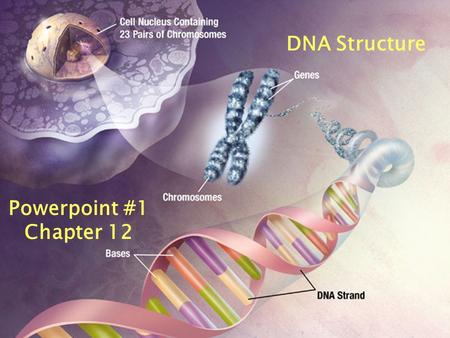 Powerpoint #1 Chapter 12 DNA Structure  The building blocks of nucleic acids are nucleotides. One Nucleotide.
