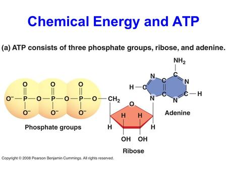 Chemical Energy and ATP