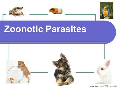 Zoonotic Parasites Copyright 2010. PEER.tamu.edu.