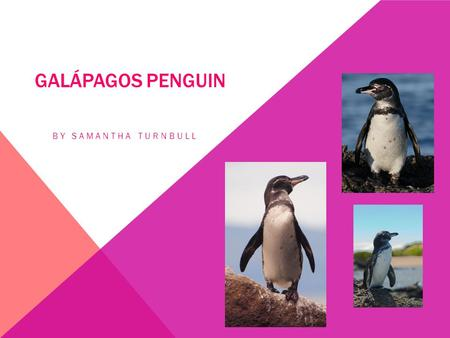 Galápagos Penguin By Samantha Turnbull.