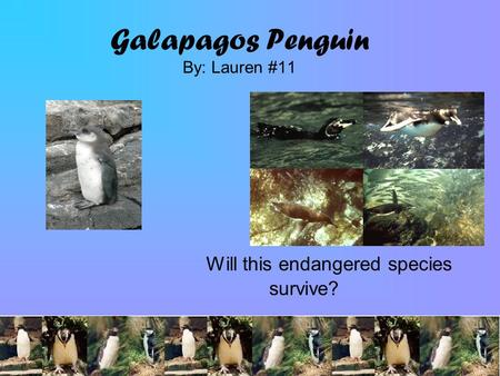 Galapagos Penguin By: Lauren #11 Will this endangered species survive?