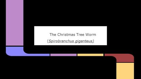 The Christmas Tree Worm (Spirobranchus giganteus).