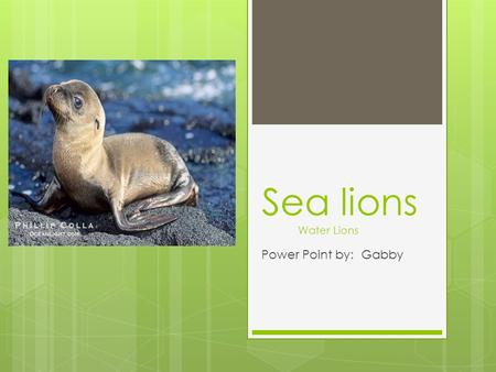 Power Point by: Gabby Sea lions Water Lions. Introduction  My animals name is sea lions.  Its scientific name is Pinnipeds Finfooed.  There are different.