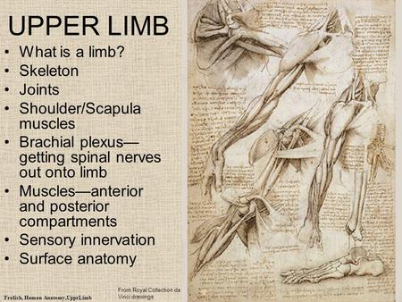 UPPER LIMB What is a limb? Skeleton Joints Shoulder/Scapula muscles