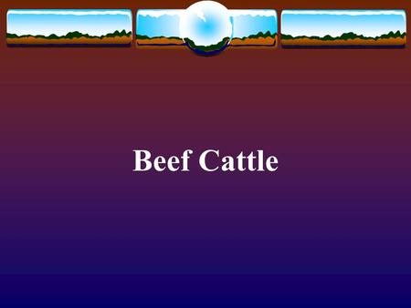 Beef Cattle. Africander Pictures from  Native to South Africa Usually red with long horns Used for meat and.