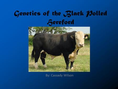 Genetics of the Black Polled Hereford By: Cassady Wilson.