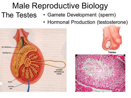 The Testes Gamete Development (sperm) Hormonal Production (testosterone) Male Reproductive Biology.