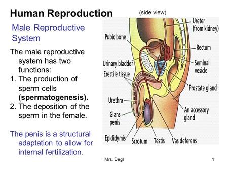 Mrs. Degl1 Human Reproduction Male Reproductive System The male reproductive system has two functions: 1.The production of sperm cells (spermatogenesis).