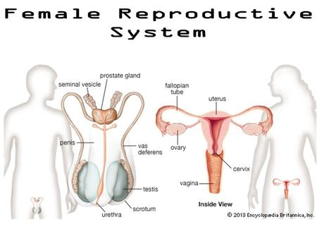 Female Anatomy Female Reproductive System Uterus (AKA: womb): – protects zygote/developing embryo Ovaries: – Inside; found on each side of uterus.