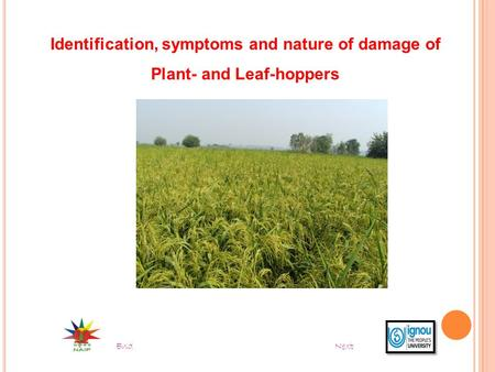 Identification, symptoms and nature of damage of Plant- and Leaf-hoppers End Next.