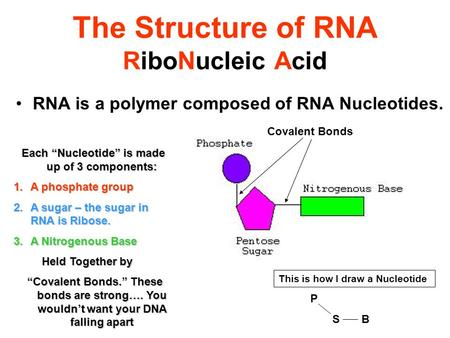 "The Structure of RNA RiboNucleic Acid RNA is a polymer composed of RNA Nucleotides. Each ""Nucleotide"" is made up of 3 components: 1.A phosphate group 2.A."
