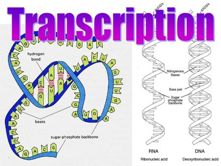 The Central Dogma States: information flows in one direction from DNA to RNA to proteins. Includes 3 processes: RNA is the link between DNA and proteins.