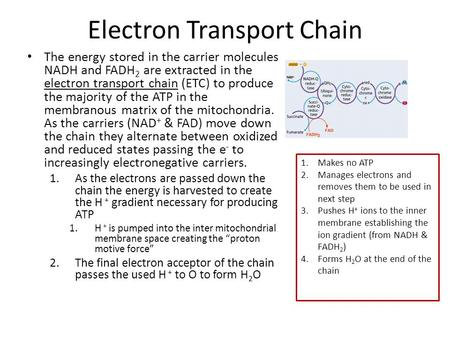 Electron Transport Chain The energy stored in the carrier molecules NADH and FADH 2 are extracted in the electron transport chain (ETC) to produce the.
