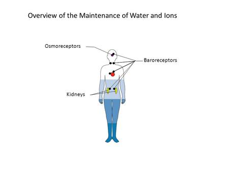 Overview of the Maintenance of Water and Ions Kidneys Baroreceptors Osmoreceptors.