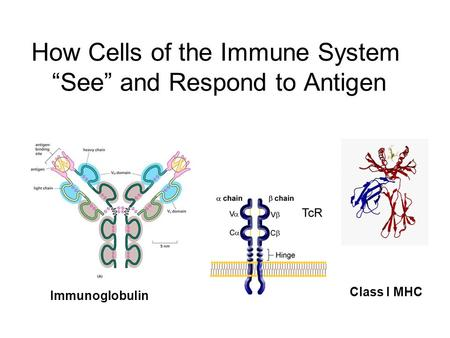 "How Cells of the Immune System ""See"" and Respond to Antigen Class I MHC Immunoglobulin."