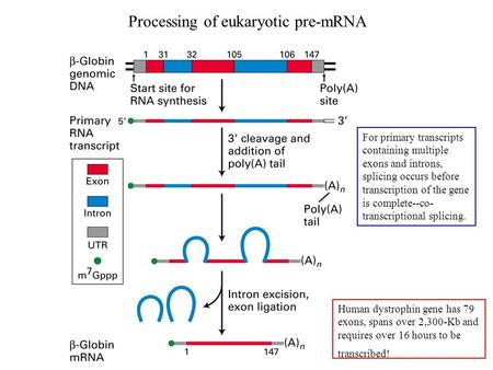 Processing of eukaryotic pre-mRNA Human dystrophin gene has 79 exons, spans over 2,300-Kb and requires over 16 hours to be transcribed! For primary transcripts.
