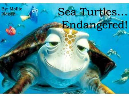 Sea Turtles… Endangered! By: Mollie Plekan. Background largest hard-shelled sea turtle in the world. largest hard-shelled sea turtle in the world. It.