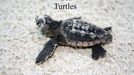 Sea Turtles. History of sea turtles  Sea turtles have been around for more then 110 million years.  Many sea turtles can not retract there head and.