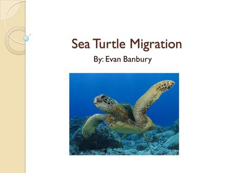 Sea Turtle Migration By: Evan Banbury Why do sea turtles migrate? All sea turtle species migrate to some area. Loggerhead turtles have the longest migration.