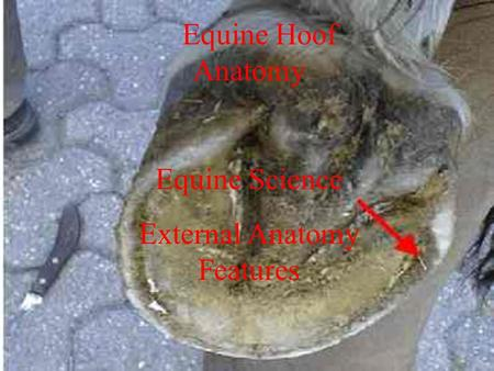 Equine Hoof Anatomy Equine Science External Anatomy Features Equine Hoof Anatomy Equine Science External Anatomy Features.