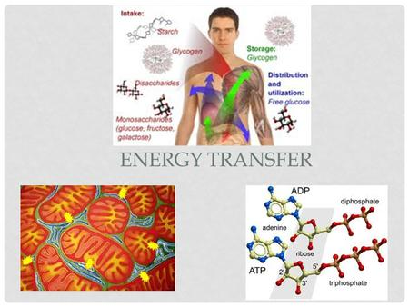 ENERGY TRANSFER. ADENOSINE TRIPHOSPHATE THE ENERGY CURRENCY The energy in food does not transfer directly to the cells for biologic work. Rather, energy.