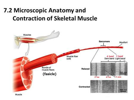 7.2 Microscopic Anatomy and Contraction of Skeletal Muscle (fasicle)