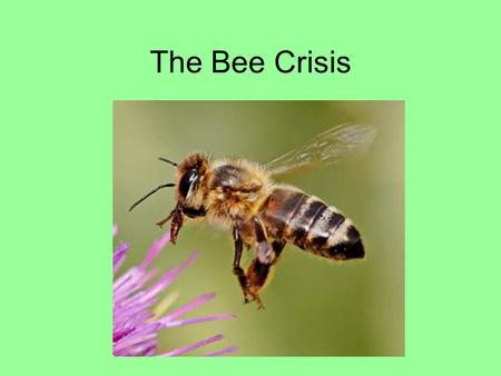 The Bee Crisis. Honeybees are fascinating and useful insects.