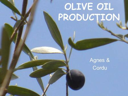 OLIVE OIL PRODUCTION Agnes & Cordu History cultivated before jesus birthcultivated before jesus birth oldest tree: >2000 years oldoldest tree: >2000.