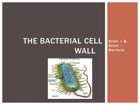 Gram + & Gram – Bacteria THE BACTERIAL CELL WALL.