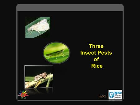 Three Insect Pests of Rice