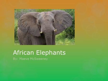 African Elephants By: Maeve McSweeney. Basic Facts  African Elephants are mammals  Live for 60 years  Grey, big ears  Tusks to fight predators  13.