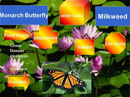 Monarch Butterfly Milkweed Genus Danaus plexippus Species dandanie Food Web Food Chain Life Cycle other facts adaptations habitat.
