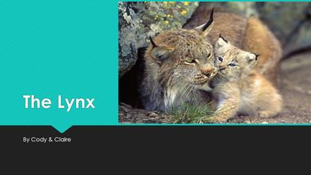 The Lynx By Cody & Claire. How the Lynx Looks  The Lynx has black hair on the tip of its ear.  The Lynx has a bob tail, and they use them like whiskers.
