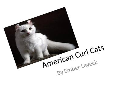 American Curl Cats By Ember Leveck. Animal Defenses They can cough out hair balls. They have sharp claws. Sometimes they flip their ears back.