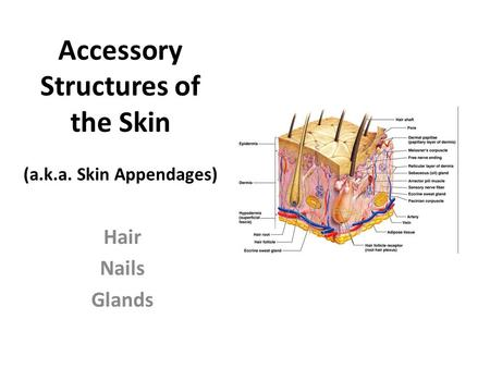 Accessory Structures of the Skin (a.k.a. Skin Appendages) Hair Nails Glands.