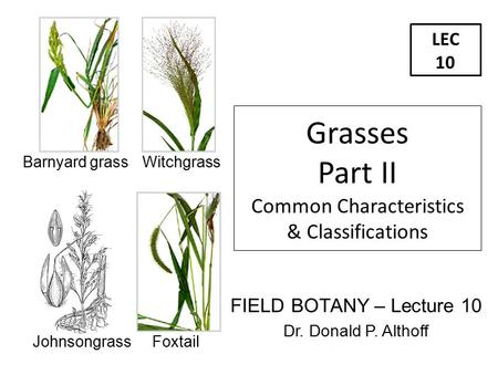 LEC 10 FIELD BOTANY – Lecture 10 Dr. Donald P. Althoff Grasses Part II Common Characteristics & Classifications Barnyard grass Witchgrass Johnsongrass.