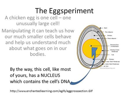 The Eggsperiment A chicken egg is one cell – one unusually large cell! Manipulating it can teach us how our much smaller cells behave and help us understand.