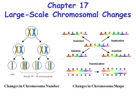 Chapter 17 Large-Scale Chromosomal Changes Changes in Chromosome NumberChanges in Chromosome Shape.