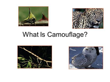 What Is Camouflage?. How do animals protect themselves in the wild? Color or pattern allows the animal to blend into the environment.