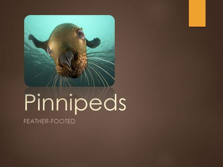 "Pinnipeds FEATHER-FOOTED. Pinnipeds ""Feather-footed"" Phocidae - True ""earless"" seals 9 species Otariidae - ""eared seals"" 5 sea lion species 9 fur seal."