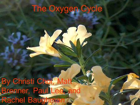 The Oxygen Cycle By Christi Choi, Matt Brenner, Paul Lee, and Rachel Baughman.