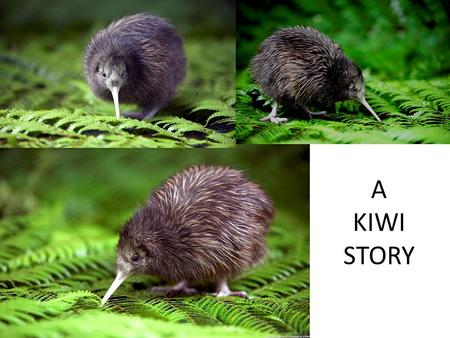 A KIWI STORY. THE KIWI Endemic to NZ Endangered 5 species : – Brown – Great spotted – Little spotted – Rowi – Tokoeka Distribution – small population.
