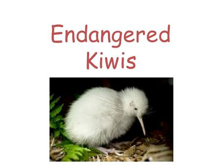 Endangered Kiwis. Why are Kiwis endangered? They are endangered because they are being predated by cats and rats. It's habitat and distruction of large.